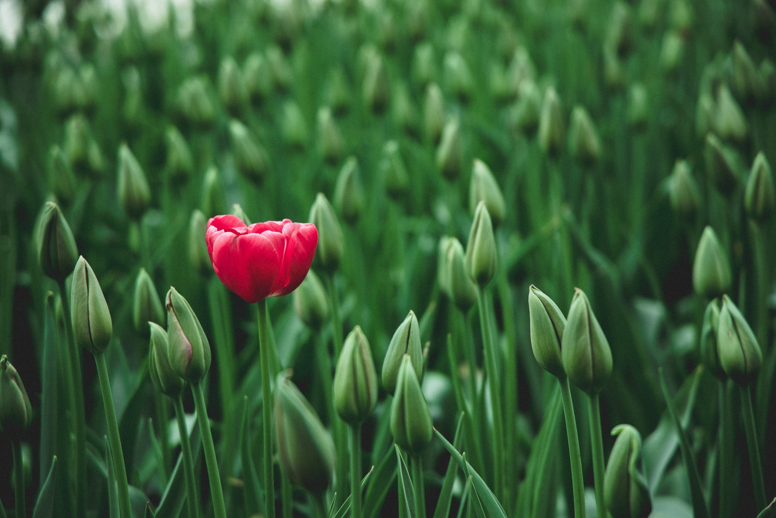 https://www.pexels.com/photo/selective-focus-photo-of-a-red-tulip-flower-2480072/